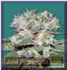 Bomb CBD Bomb Female 10 Marijuana Seeds